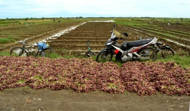 petani bawang di brebes