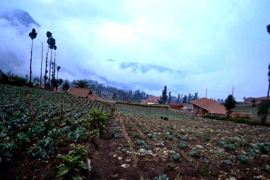 kebun bawang yang berderet di samping rumah penduduk