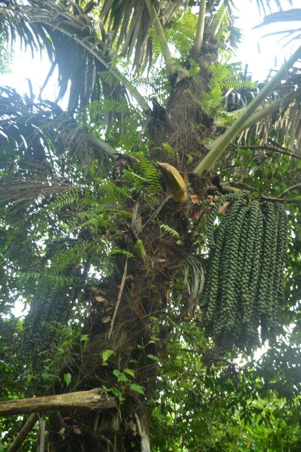 pohon kolang kaling