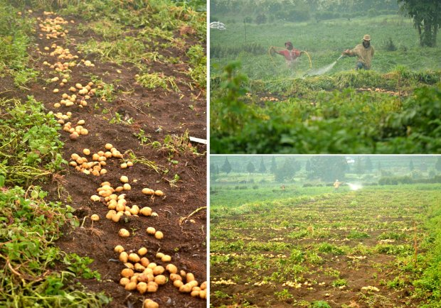 perkebunan kentang