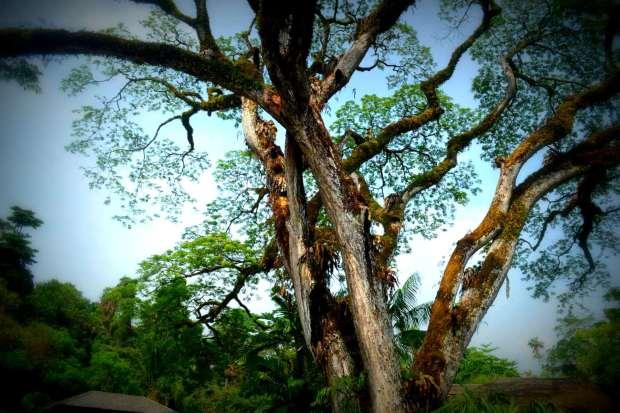 pohon besar di botani garden