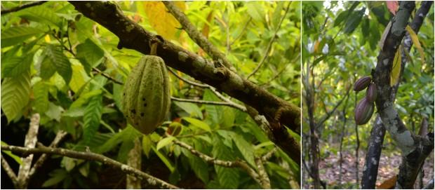 pohon coklat muda di hutan