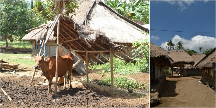 beternak sapi di ujung desa