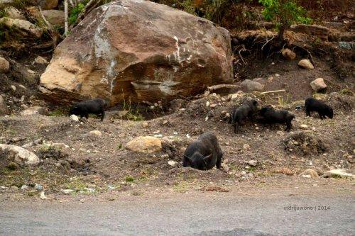 anak-anak babi