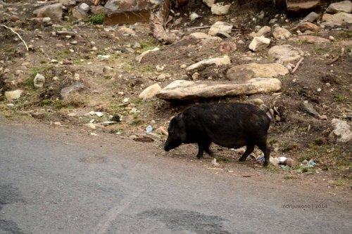babi yang malas