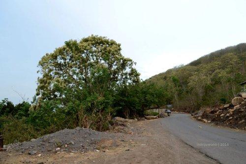 pohon kemiri yang berdiri gagah di tepi jalan