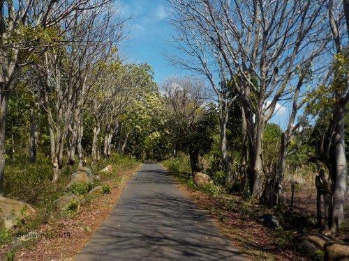 jalanan di desa masih mulus di tengah batang kering