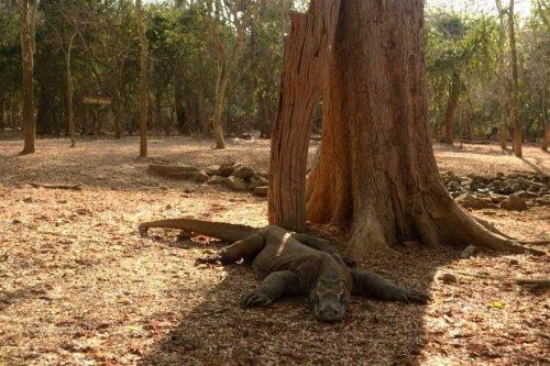 komodo di bawah pohon