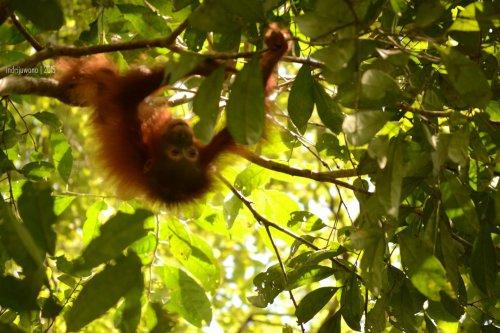 10-tanjungputing-camp-leakey-orangutan