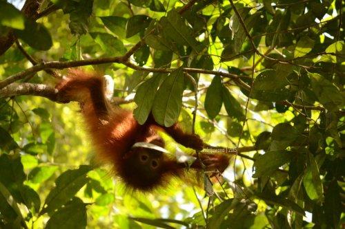 11-tanjungputing-camp-leakey-orangutan