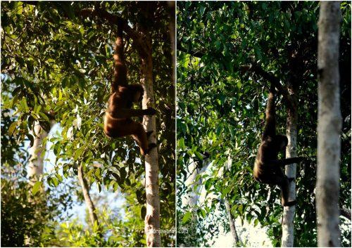 mamalia hidup berdampingan antara owa dan orangutan