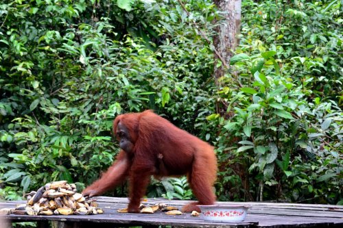 14-tanjungputing-pondok-tanggui-orangutan-1