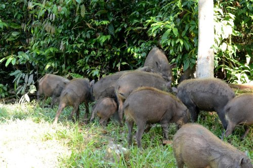 babi hutan di tanah bebarengan