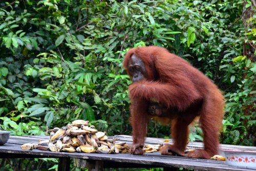 15-tanjungputing-pondok-tanggui-orangutan-2
