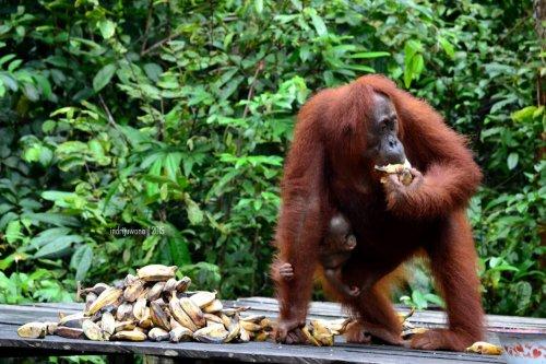 16-tanjungputing-pondok-tanggui-orangutan-3