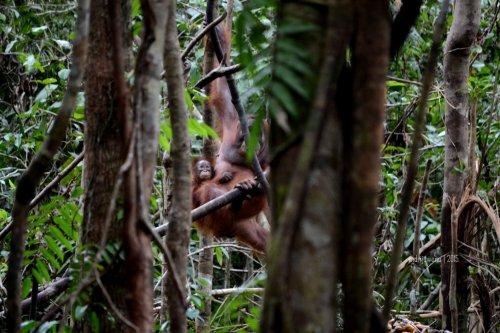16-tanjungputing-tanjung-harapan-feeding-time-orangutan