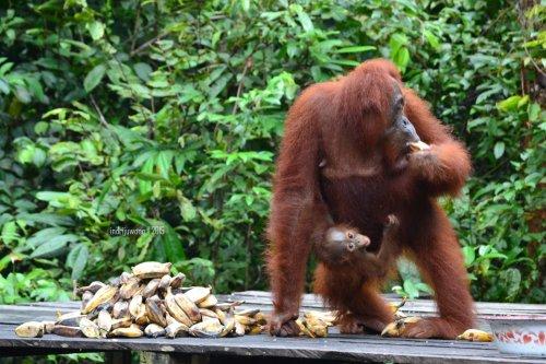 18-tanjungputing-pondok-tanggui-orangutan-5