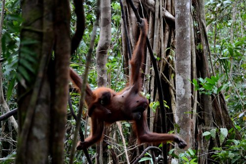 18-tanjungputing-tanjung-harapan-feeding-time-orangutan