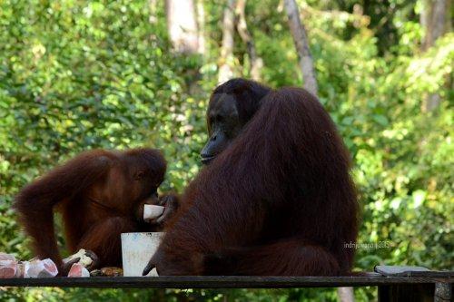 19-tanjungputing-camp-leakey-orangutan
