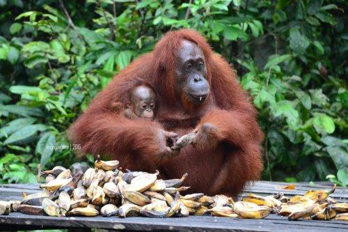 19-tanjungputing-pondok-tanggui-orangutan-6