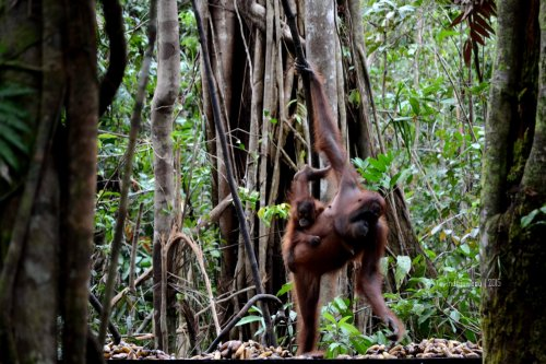 19-tanjungputing-tanjung-harapan-feeding-time-orangutan