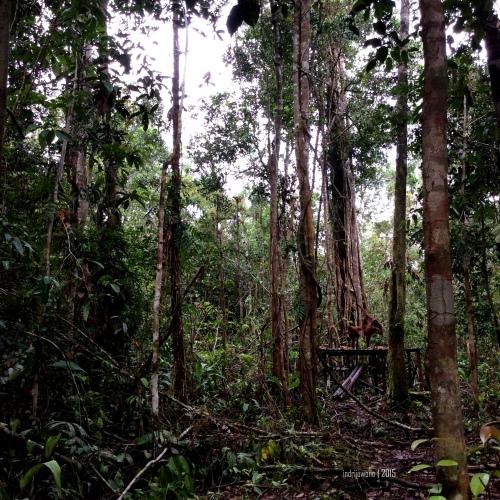 2-tanjungputing-hutan-orangutan