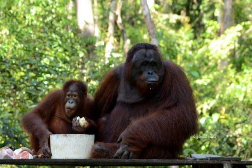 20-tanjungputing-camp-leakey-orangutan
