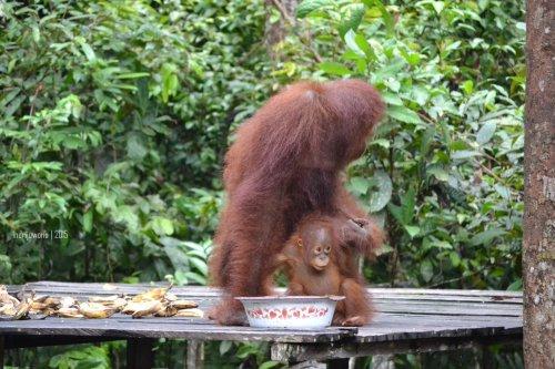 20-tanjungputing-pondok-tanggui-orangutan-7