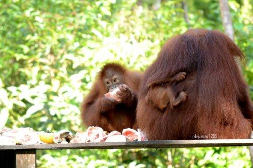 21-tanjungputing-camp-leakey-orangutan