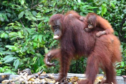 21-tanjungputing-pondok-tanggui-orangutan-8