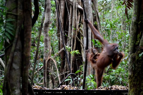21-tanjungputing-tanjung-harapan-feeding-time-orangutan