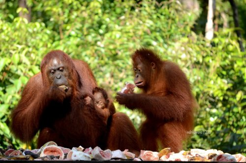 22-tanjungputing-camp-leakey-orangutan