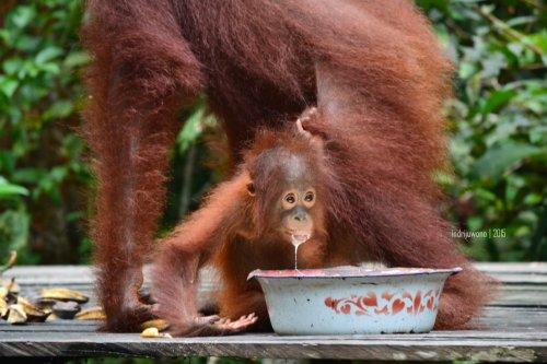 22-tanjungputing-pondok-tanggui-orangutan-9