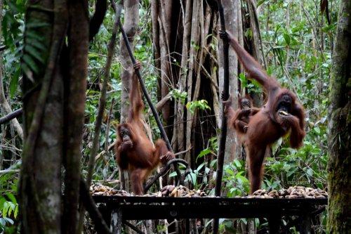 22-tanjungputing-tanjung-harapan-feeding-time-orangutan