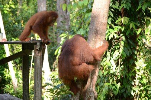 23-tanjungputing-camp-leakey-orangutan