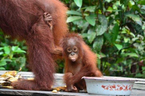 23-tanjungputing-pondok-tanggui-orangutan-10