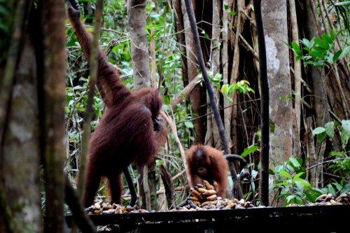 23-tanjungputing-tanjung-harapan-feeding-time-orangutan