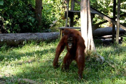 24-tanjungputing-camp-leakey-orangutan