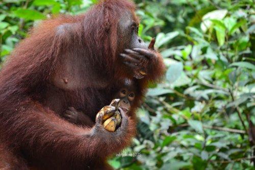 24-tanjungputing-pondok-tanggui-orangutan-11