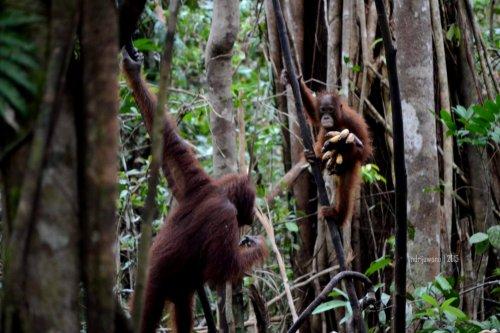 24-tanjungputing-tanjung-harapan-feeding-time-orangutan