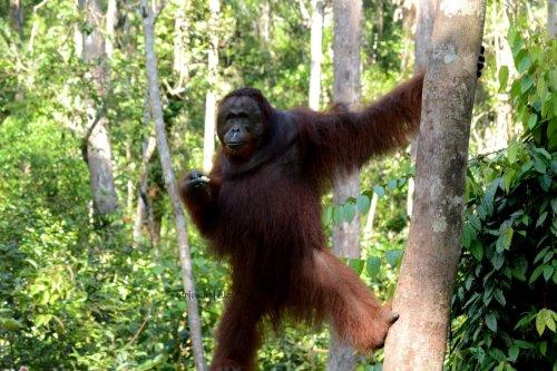 25-tanjungputing-camp-leakey-orangutan