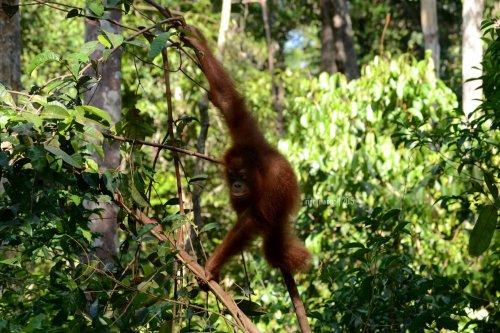 26-tanjungputing-camp-leakey-orangutan
