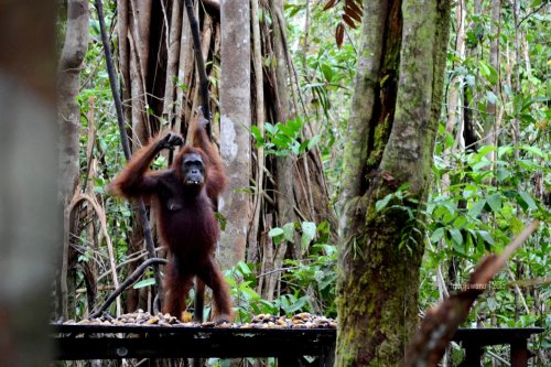 26-tanjungputing-tanjung-harapan-feeding-time-orangutan