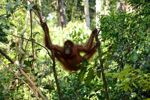 27-tanjungputing-camp-leakey-orangutan