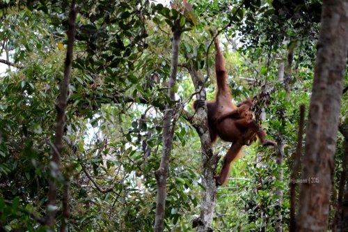 27-tanjungputing-tanjung-harapan-feeding-time-orangutan