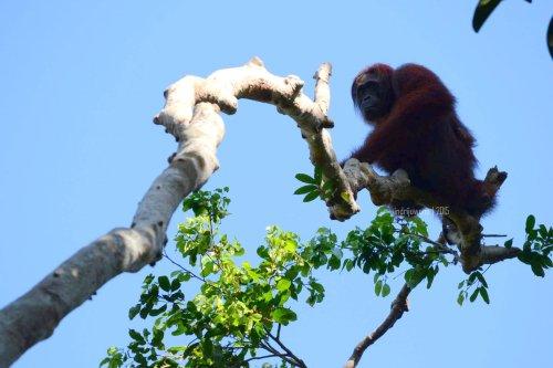 28-tanjungputing-camp-leakey-orangutan