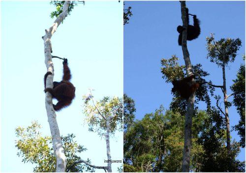 29-tanjungputing-camp-leakey-orangutan
