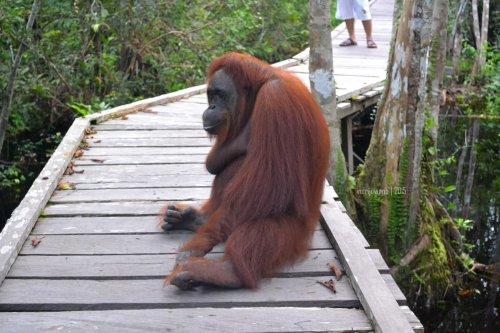 30-tanjungputing-camp-leakey-orangutan-siswi