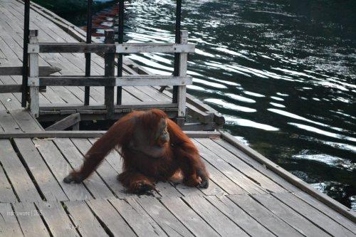 32-tanjungputing-camp-leakey-orangutan-siswi