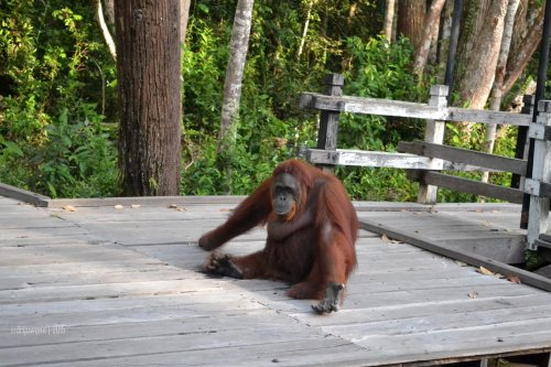 33-tanjungputing-camp-leakey-orangutan-siswi-goodbye